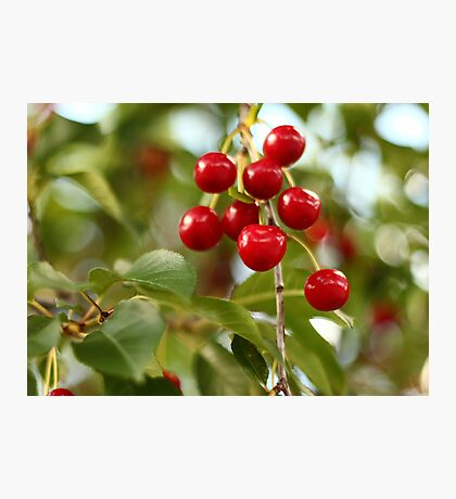Cherries on the Cherry Tree Photographic Print
