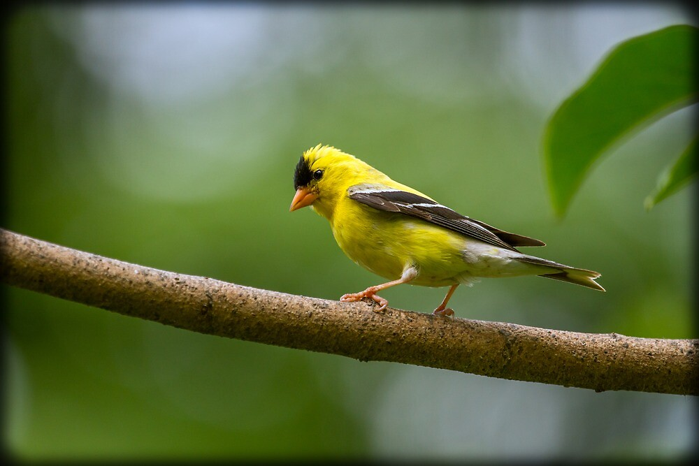 MALE GOLDFINCH by Sandy Hill