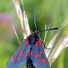 Narrow-Bordered Five-Spot Burnet ~ Zygaena lonicerae by Clive