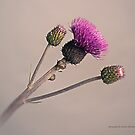 Thistle II by Andreas Stridsberg