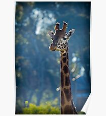 Giraffe at Werribee Open Range Zoo Poster