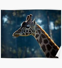 Giraffe at Werribee Open Range Zoo Poster