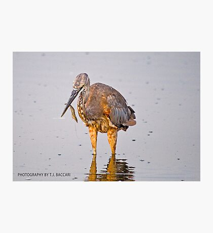 Juvenile Reddish Egret  Grabs Shrimp Cocktail for Breakfast Photographic Print