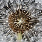 Dandelion beauty by Photos - Pauline Wherrell