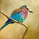 Lilac Breasted Roller by Brian Tarr