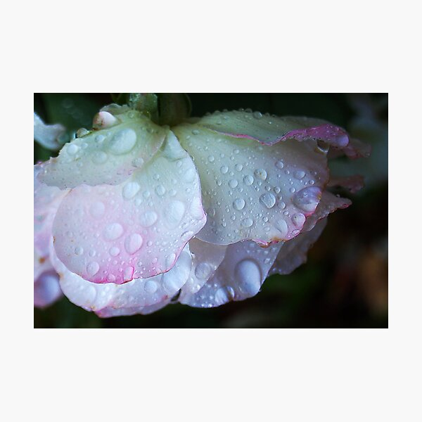 Raindrops On White & Pink Rose.  Photographic Print