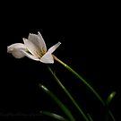 White Rain Lily by gregAllore