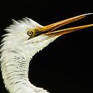 Energized Great White Egret by Joe Jennelle