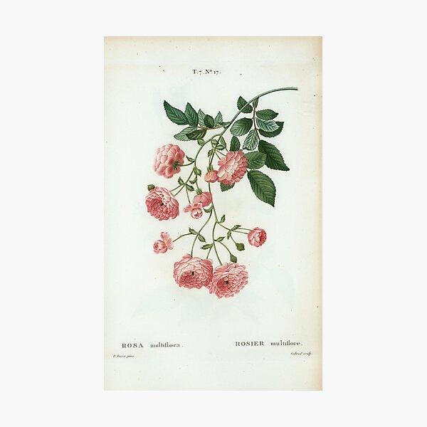 Traité des Arbres et Arbustes 0424 Rosa multiflora rosier multiflore Rambler Rose Multiflowered Rose Photographic Print