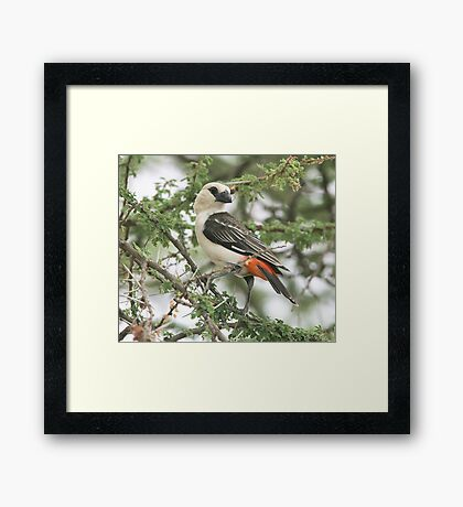 White-headed Buffalo-Weaver Framed Print