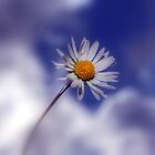 Simply a Daisy by larry flewers