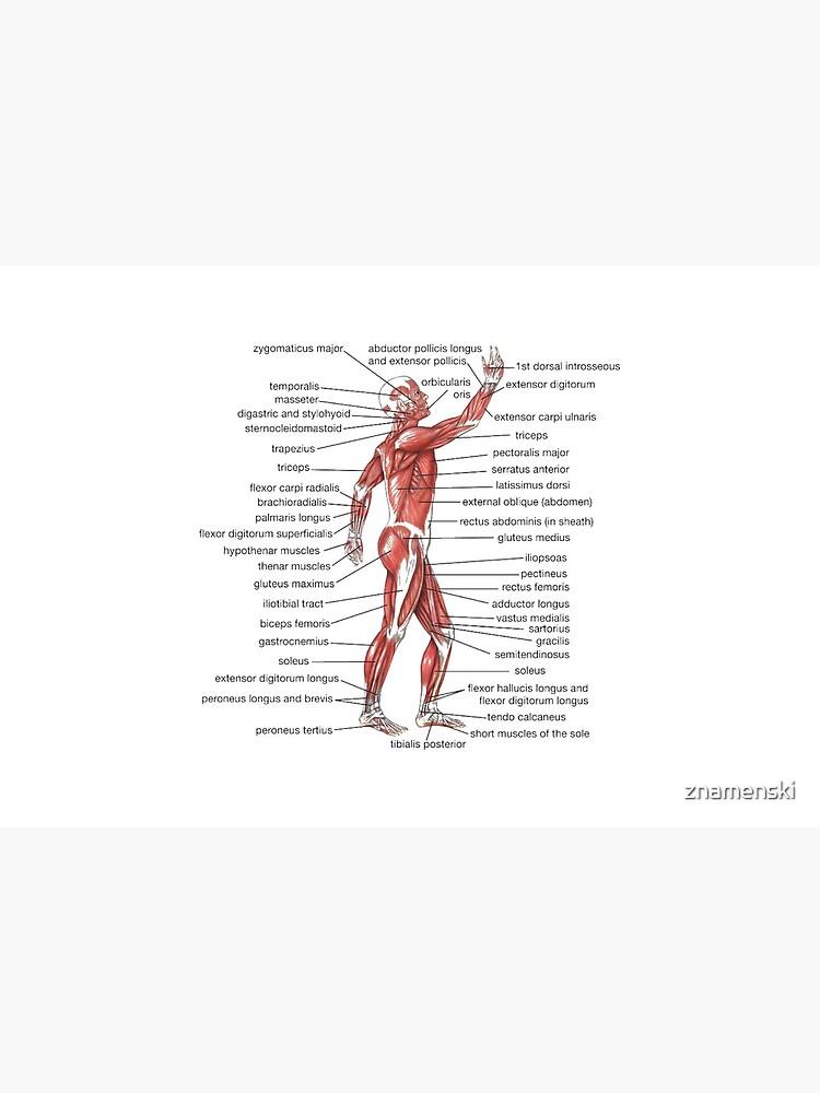 #Muscle, #shoulder, #standing, #arm, #abdomen, #human #leg, #illustration by znamenski
