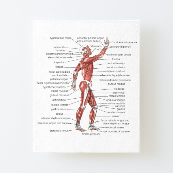 #Muscle, #shoulder, #standing, #arm, #abdomen, #human #leg, #illustration Canvas Mounted Print