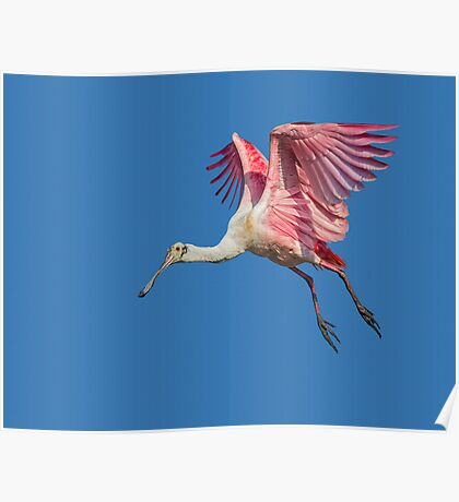 Leaping Spoonbill  Poster
