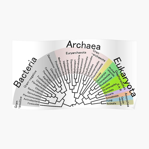 Phylogenetic Evolutionary Tree: Bacteria, Archaeva, Eukaryota Poster