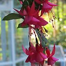 """June Bride"" Fuchsias by Pat Yager"