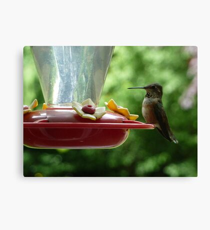 Mrs Hummingbird has landed Canvas Print