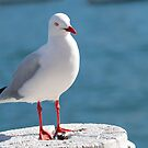 Seagull by Cordelia