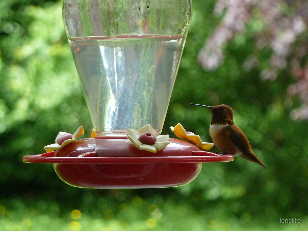 Mr Hummingbird stops by for a drink by lenslife