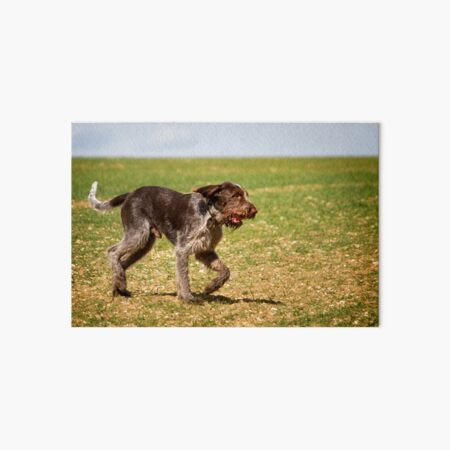 Running with a ball Spinone Art Board Print