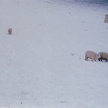 White Sheep in the Snow by joshwedlake