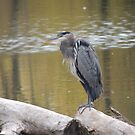 Blue Heron  by Coleen Gudbranson