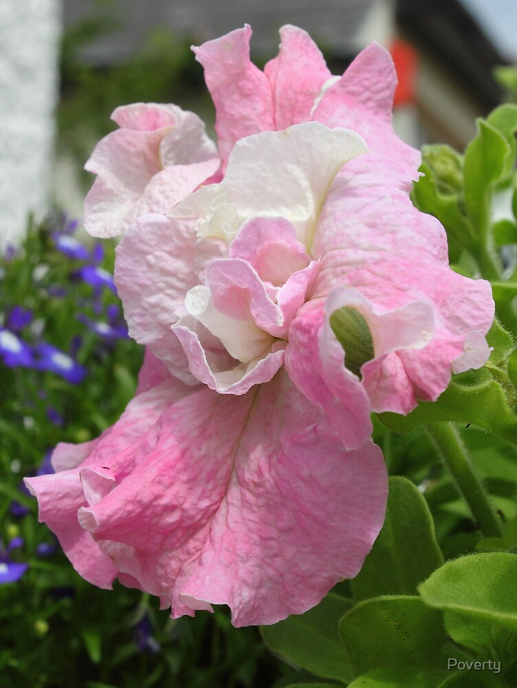 The tissue thin, paper like texture of Petunias. So fragile. by Poverty