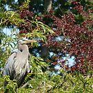 Blue heron in a tree by Klaus Bohn