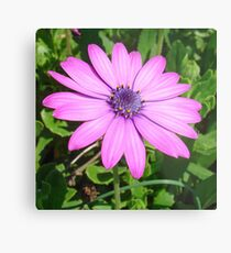 Single Pink African Daisy Against Green Foliage Metal Print