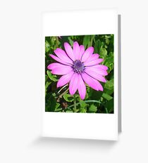 Single Pink African Daisy Against Green Foliage Greeting Card