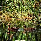 Mallard Reflections by Kelly Rockett-Safford