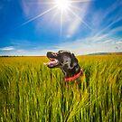 Labrador in the Fields by Heather Buckley