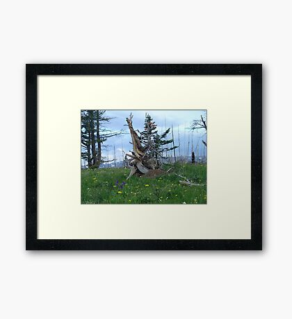 ROOT SCULPTURE IN A BURN - NR BROWNING, MT Framed Print