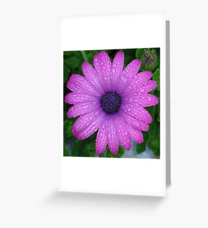 Purple African Daisy with Raindrops Greeting Card