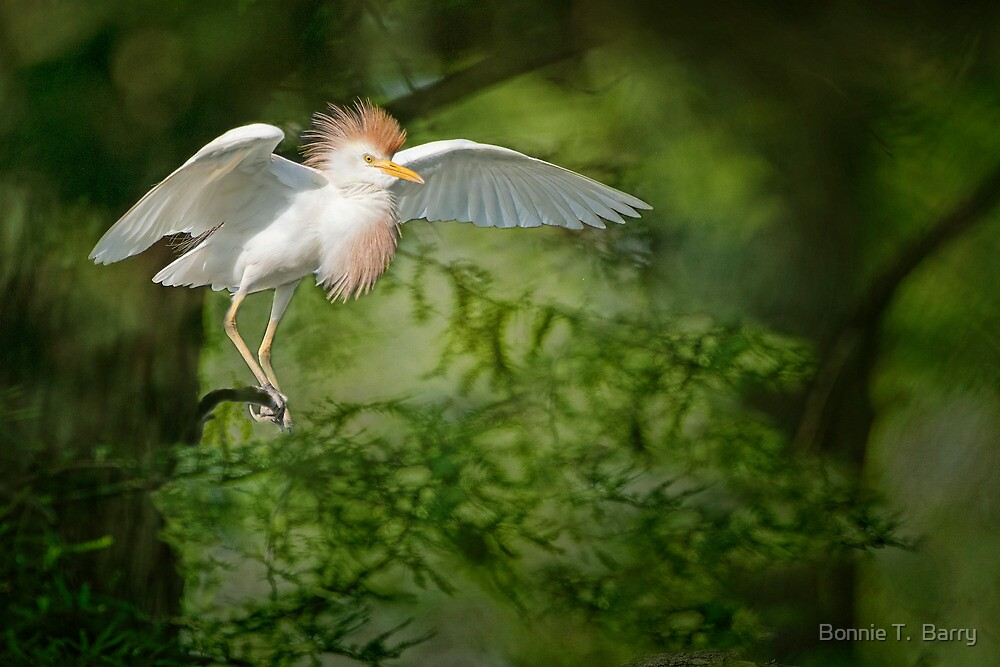 Cattle Egret in Cypress Swamp by Bonnie T.  Barry