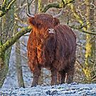 Highland Cow in Winter by David Alexander Elder