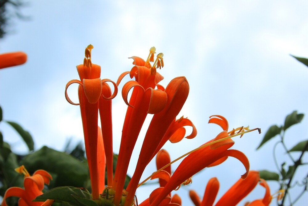 Orange Flowers Against Blue Sky by rhamm
