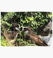 Spectacled Owls Poster