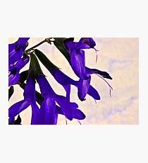Blue Angel Sage Macro  Photographic Print