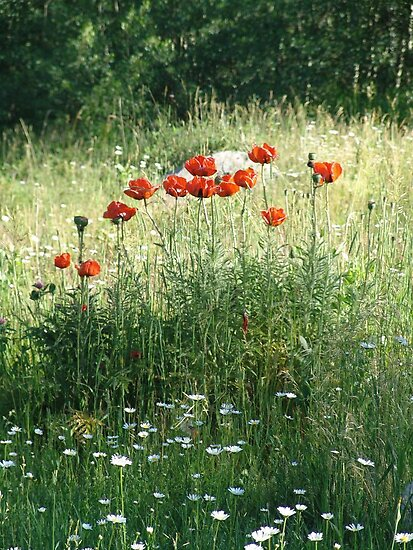 POPPIES AND DAISIES - OLD BOULDER CYN ROAD by May Lattanzio