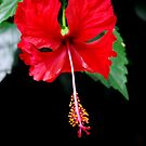 Hibiscus by Sunshinesmile83