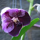 Orchid so Purple by Sunshinesmile83