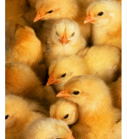 Clutch of Yellow Fluffy Chicks Sticker