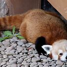 Red panda lounging at the zoo by agenttomcat