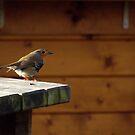 Little Robin by Rebecca White
