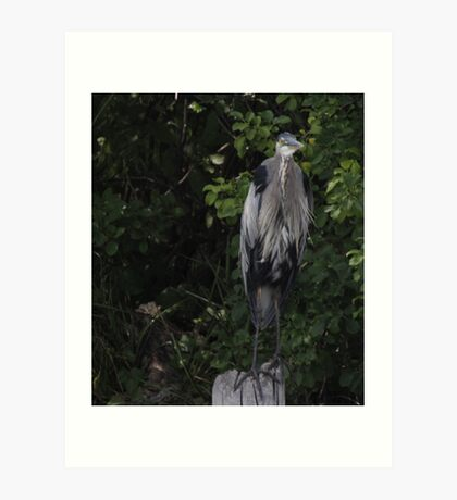 Great Blue Heron from Okauchee Wisconsin Art Print
