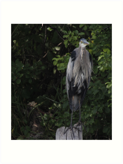 Great Blue Heron from Okauchee Wisconsin by Thomas Murphy