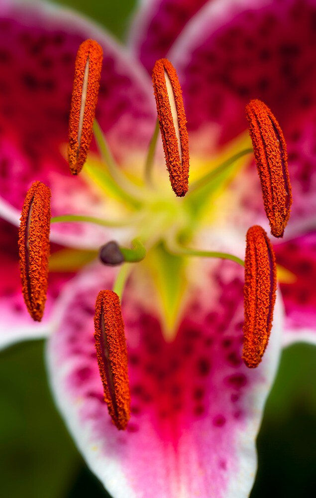 Star Gazer Lily by alan shapiro