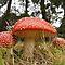 Red mushrooms VOUCHER CHALLENGE