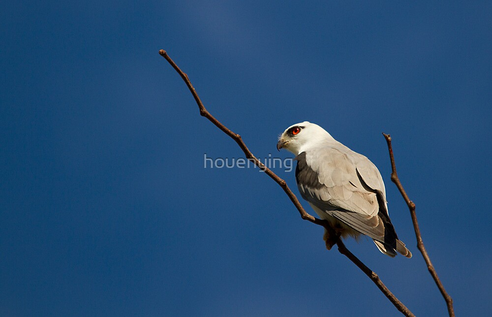 australia birds -- Black-shouldered Kite by houenying